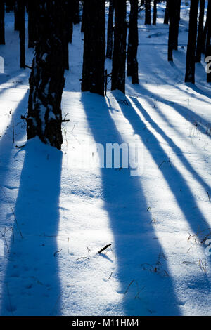 shadows on snow in winter pine forest - Stock Photo