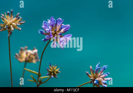 Close up image of a velvet flower on plain turquiose background - Stock Photo