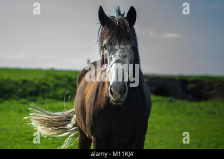 Dark brown horse with a light muzzle is walking in a field - Stock Photo