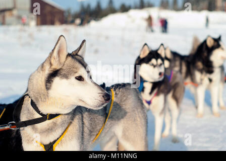 Young Siberian husky in harness before the start of the dog sledding race close-up on a blurred background - Stock Photo