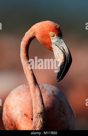Portrait of a Caribbean flamingo in a profile. Cuba - Stock Photo