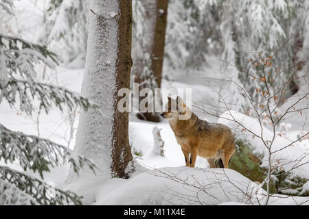 Wolf (Canis lupus) in the snow in the animal enclosure in the Bavarian Forest National Park, Bavaria, Germany. - Stock Photo