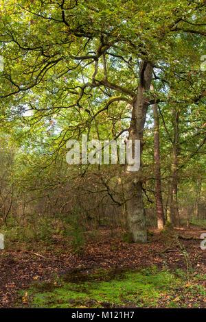Germany, Cologne, wood of the Wahner Heath, oak.  Deutschland, Koeln, Wald in der Wahner Heide, Eiche - Stock Photo