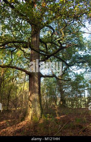 Germany, Cologne, wood of the Wahner Heath, oak.  Deutschland, Koeln, Wald in der Wahner Heide, Eiche. - Stock Photo