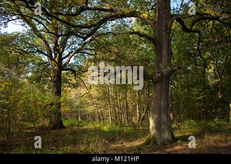 Germany, Cologne, wood of the Wahner Heath, oak trees.  Deutschland, Koeln, Wald in der Wahner Heide, Eichen. - Stock Photo