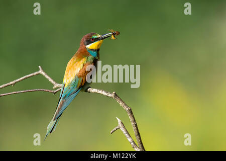 Bee-eater (Merops apiaster) with bee as prey,sitting on branch,Burgenland,Austria - Stock Photo