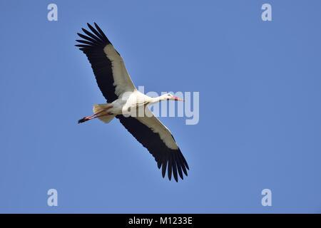 White stork (Ciconia ciconia),adult,flying,Canton of Aargau,Switzerland - Stock Photo