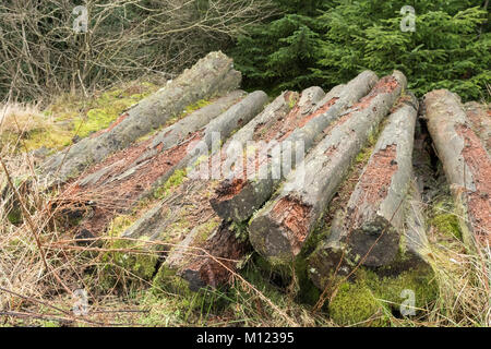Pile of  logs in forest left as deadwood made from felled pine trees to provide habitat for wildlife - Stock Photo