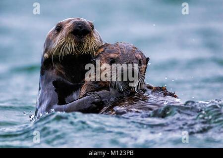 Otters Playing Stock Photo