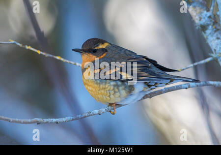 varied thrush, Ixoreus naevius, perched in a tree in Bellingham, WA, USA - Stock Photo