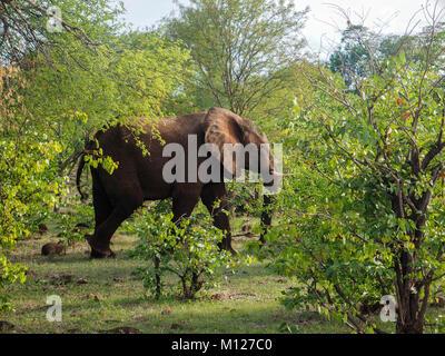 ZIMBABWE, AFRICA:  African elephant (Loxodonta africana), cow in the veldt - Stock Photo