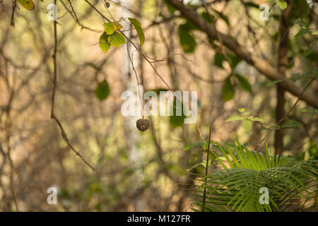 Wild seed pod in Sariska National Park, India - Stock Photo