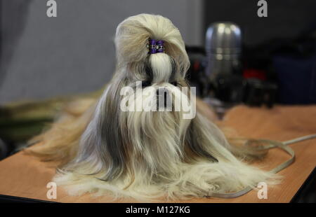 lap dog with the hairstyle sits on the table - Stock Photo
