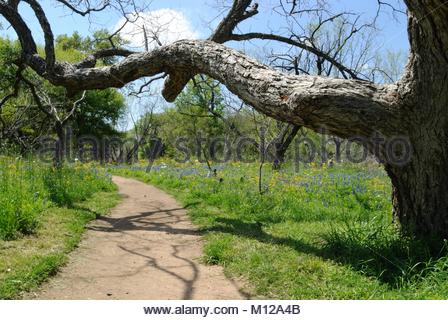 Hiking on Nature Trail. Tree limb, Texas Bluebonnets and other Native Wildflowers, Enchanted Rock State Park. Texas - Stock Photo