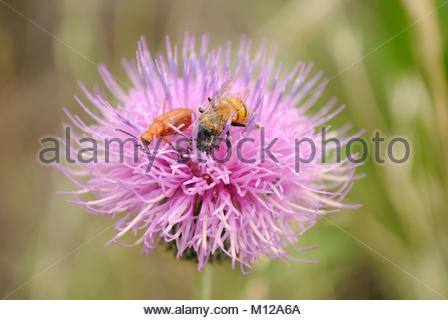 Honeybee and Leaf Beetle on Thistle Flower. Enchanted Rock State Park Texas Hill Country. Bee collecting pollen. - Stock Photo