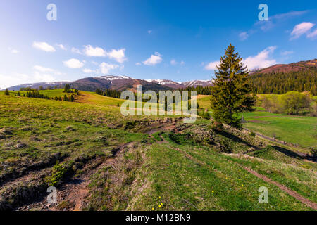 beautiful green valley in springtime. spruce forest on grassy slopes in the morning light. Borzhava mountain ridge - Stock Photo