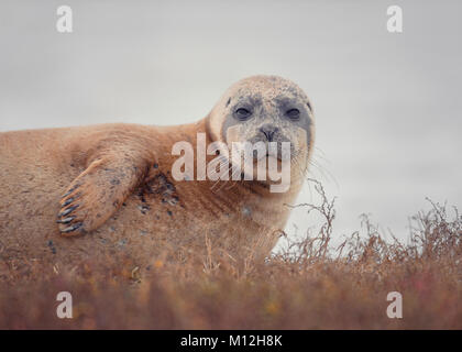 A common/harbour seal. - Stock Photo