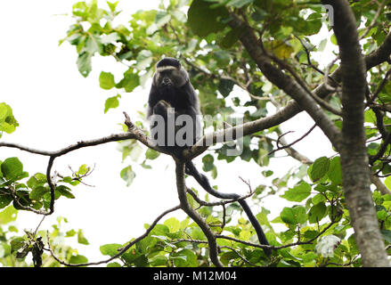 A Blue Monkey in Virunga national park in Eastern Congo. - Stock Photo