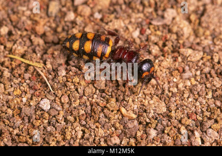 Wingless female flower wasp (Tiphiidae) - Stock Photo