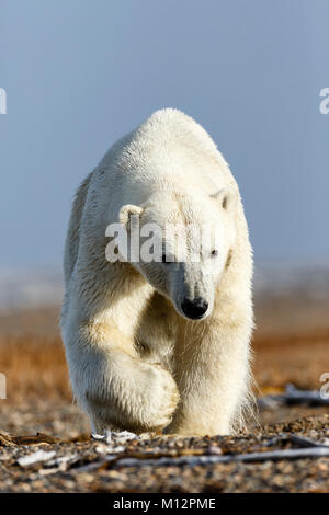 Polar bear (Ursus maritimus) walking on spit on Barter Island near Kaktovik in Arctic National Wildlife Refuge in - Stock Photo
