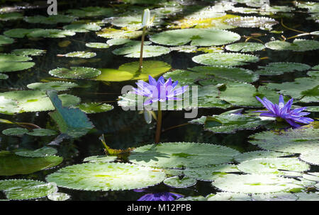 The blue water lilies, Martinique island. - Stock Photo