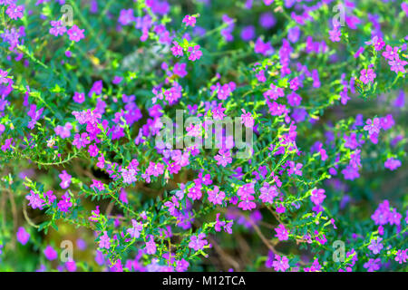 European Michaelmas Daisy blooms in a sunny, pink-violet garden that sprouts as small clusters around the garden - Stock Photo