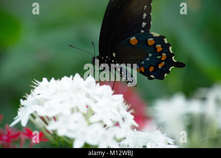 Swallow Tail Butterfly on a flower - Stock Photo