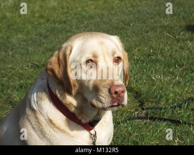 Beautiful Yellow Labrador waiting and catching a tennis ball set of action shots - Stock Photo