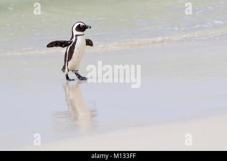 African penguin, jackass penguin, black-footed penguin (Spheniscus demersus), walking on beach, Boulder beach, South - Stock Photo