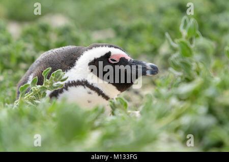 African penguin, jackass penguin, black-footed penguin (Spheniscus demersus), portrait. Boulder beach, South Africa Stock Photo