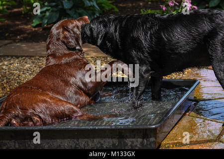 Two dogs playing in a pool of water - Brown and black Labrador splashing in a pool of water on a warm summers day - Stock Photo