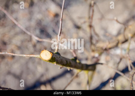 Farmer has pruned branches of trees in orchard using loppers at early spring. - Stock Photo
