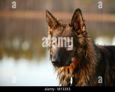 Beautiful german shepherd dog - Stock Photo