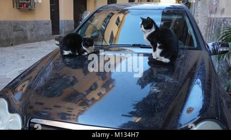 Palermo, Sicily, Italy, cats on a car engine hood - Stock Photo