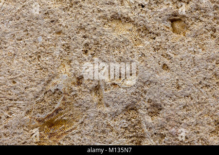 Detail of marine bryozoan fossils containing multiple specimins - Stock Photo
