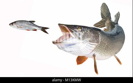 Flusshecht mit offenem Schlund jagt Rotfederfreigestellt - Stock Photo