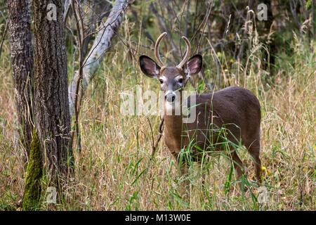 Canada, Province of Quebec, Abitibi-Témiscamingue region, Amos, Pageau refuge, zoo, white-tailed deer (Odocoileus - Stock Photo
