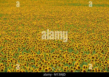 Spain, Andalusia, Jerez de la Frontera, sunflower fields - Stock Photo