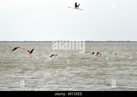 France, Bouches du Rhone, Parc naturel regional de Camargue (Regional Natural Park of Camargue), Tampan pond, flamingos - Stock Photo
