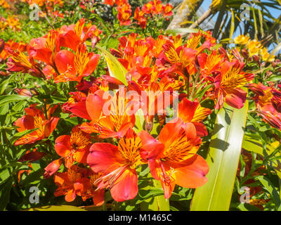 Closeup view of beautiful bright orange and yellow Peruvian lily or  Alstroemeria flowers in the garden on a sunny - Stock Photo