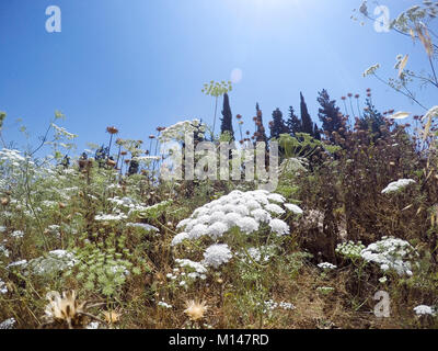 Ammi majus commonly called bishop's weed, false bishop's weed, bullwort, greater ammi, lady's lace, Queen Anne's lace or laceflower, is a plant origin Stock Photo