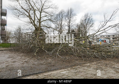 After heavy storm fallen tree blocking road, Sittard, Limburg, Netherlands. - Stock Photo