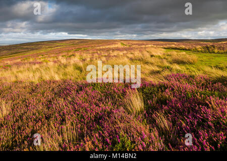 Bell heather in flower in the Quantock Hills in late summer. Weacombe, Somerset, England. - Stock Photo
