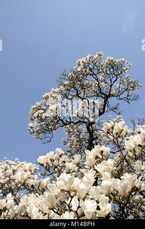 Magnolia x soulangeana - Tulpen-Magnolie, Magnolie - Stock Photo