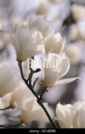 Magnolia denudata - Yulan-Magnolie - Stock Photo