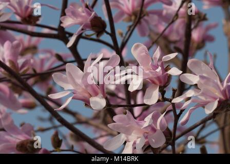 Magnolia loebneri 'Leonard Messel' - Magnolie - Stock Photo
