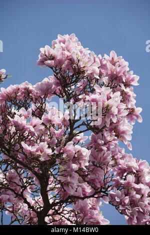 Magnolia, Magnolie - Stock Photo