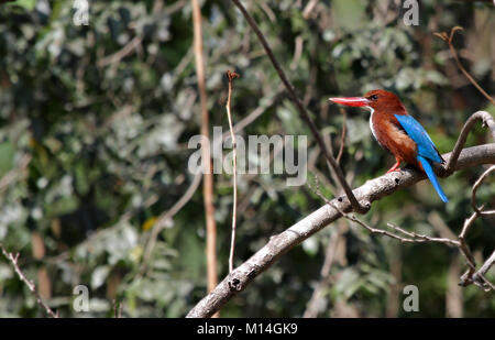White Throated Kingfisher perching on a tree trunk on the background of dense green trees - Stock Photo