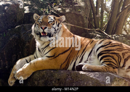An Amur tiger prowling in the undergrowth - Stock Photo