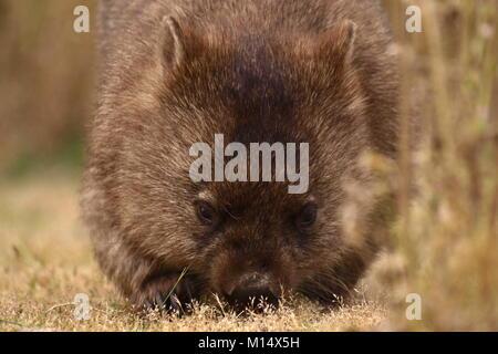 Wombat feeding on grass, Tasmania, Australia - Stock Photo